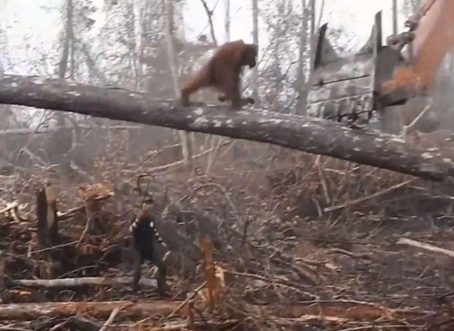 Orangutan vs digger